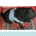 Blue White Body Harness for Dogs & Cats